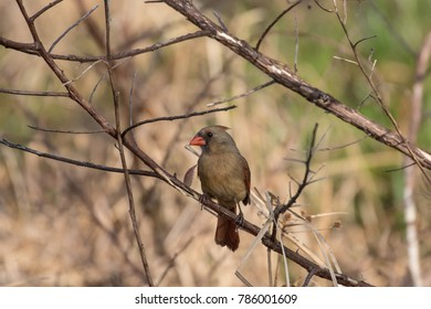 Female cardinal perched on the branch of a tree