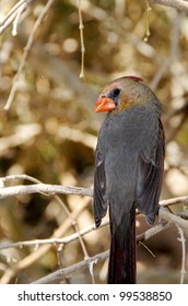 A female cardinal perched on a branch