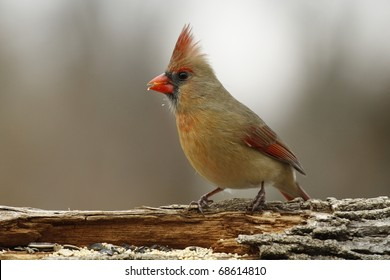 Female Cardinal perched on a log ready to eat some seeds.