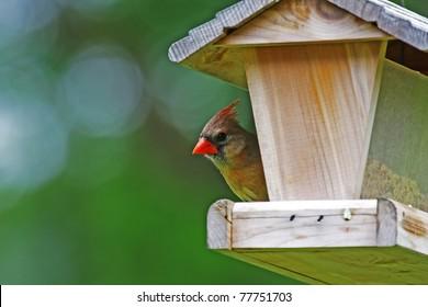 A female cardinal perched at a wooden bird feeder
