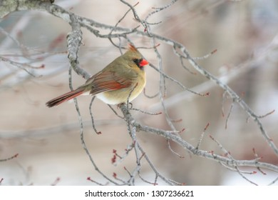 A female cardinal perches in a maple tree with budding leaves in late winte