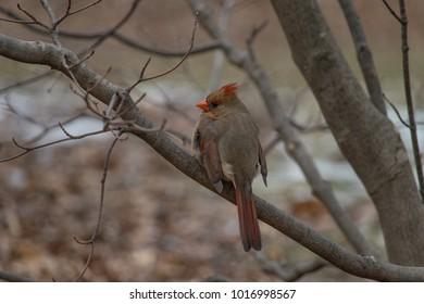 Female Cardinal perching