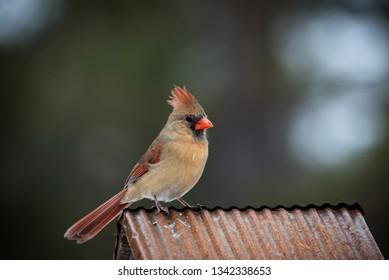 female cardinal sitting on copper roof. Isolated brown bird with orange beak soft defocused background