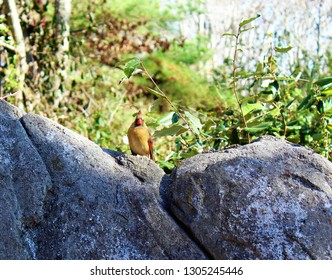 Female Cardinal sitting on a rock