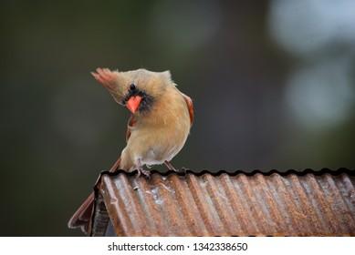 female cardinal tilting her head, sitting on copper roof. Isolated brown bird with orange beak soft defocused background