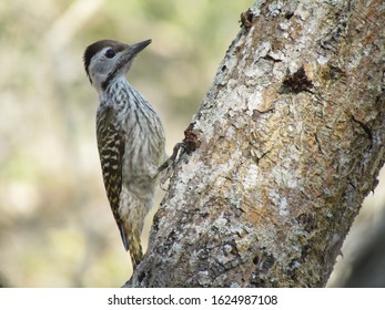 Female Cardinal Woodpecker in Ndumo Reserve searches for grubs in tree bark