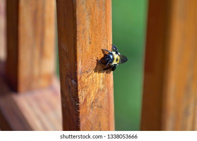 Female Carpenter Bee digging into the wood of an outdoor deck to build her nest where she will lay eggs, on a sunny spring day