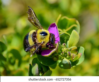 A female Carpenter Bee with pink flowers in Southern Africa