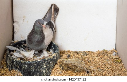 Female carrier pigeon in nest with feathers and wood chips in a box