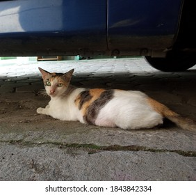 a female cat in a combination of black, brown and white looks relaxing