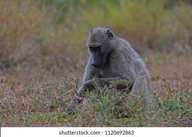 Female Chacma Baboon (Papio ursinus) foraging - Kruger National Park, South Africa