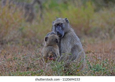 Female Chacma Baboon (Papio ursinus) with her young, foraging - Kruger National Park, South Africa