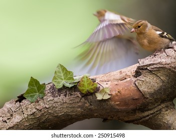Female chaffinch flying away