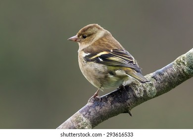Female chaffinch on a branch. A female chaffinch is seen perched on the branch of a tree.