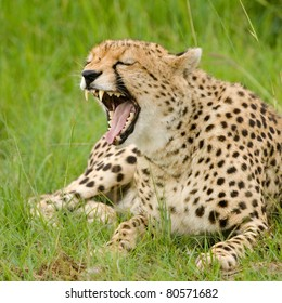 A female cheetah bares her teeth in Masai Mara