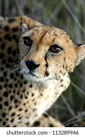 Female cheetah l in long grass, Namibia