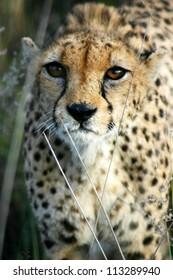 Female cheetah looking at the camera, Namibia