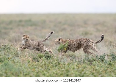female cheetah playing with her cub in an open plain, tanzania