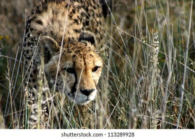 Female cheetah stalking in long grass, Namibia