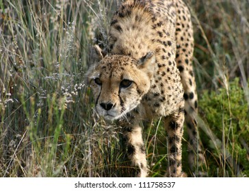 A female cheetah stalking prey in the cover of long grass, Namibia