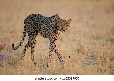 Female Cheetah upright in the yellow savannah grass