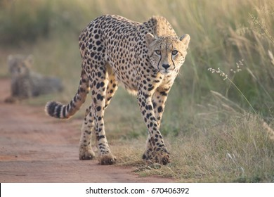 Female cheetah walking along a dirt road to her cub