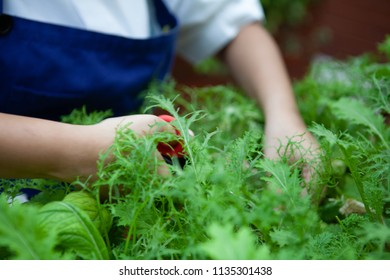Female chef cuts young organic hydroponic Mizuna vegetable or Japanese mustard greens for salad. Farm to table or Zero Food or Zero Kilometer Cooking or Healthy Eating Concept. Focus at plant.