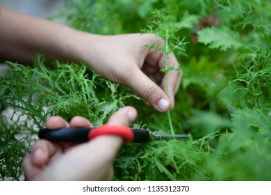 Female chef cuts young organic hydroponic Mizuna vegetable or Japanese mustard greens for salad. Farm to table or Zero Food or Zero Kilometer Cooking or Healthy Eating Concept. Focus at hand.