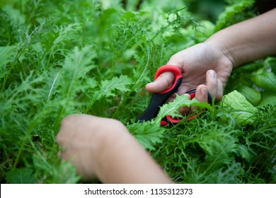 Female chef cuts young organic hydroponic Mizuna vegetable or Japanese mustard greens for salad. Farm to table or Zero Food or Zero Kilometer Cooking or Healthy Eating Concept. Focus at right hand.