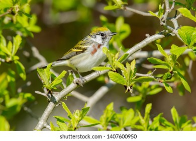 Female Chestnut-sided Warbler perched on a branch. Ashbridges Bay Park, Toronto, Ontario, Canada.