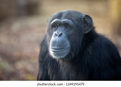 Female Chimpanzee Portrait looking at camera in nature