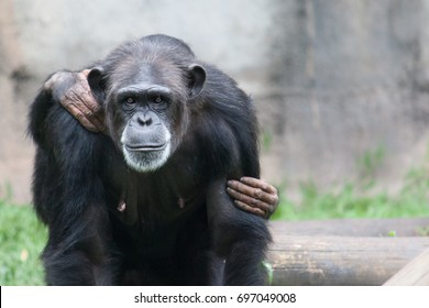 Female chimpanzee portrait looking straight into the camera with her baby cub (visible grabbing hands) on the back. Grayish out of focus background.