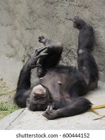Female chimpanzee relaxing on her back with her feet up on a grey stone wall.