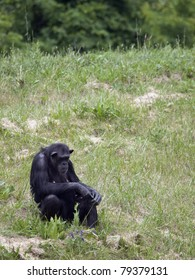 Female chimpanzee sitting in a field of green grass