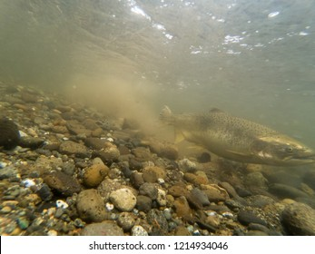 Female Chinook Salmon Digging In The Gravel