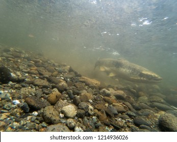 Female Chinook Salmon Digging With Her Tail