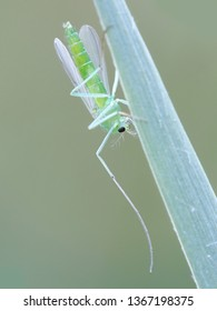 Female Chironomidae,  commonly known as chironomid, nonbiting midge, or lake fly