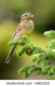 Female Cirl Bunting on spruce branch.