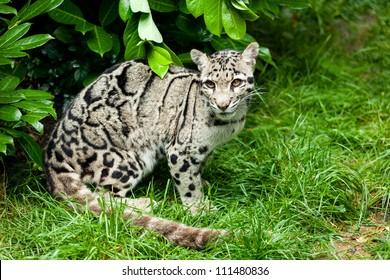 Female Clouded Leopard Sitting Under Bush Neofelis Nebulosa