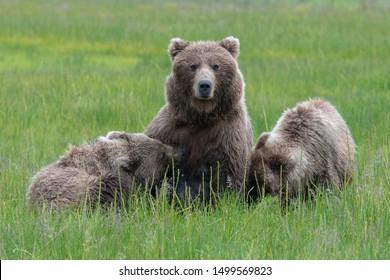 A female coastal brown bear (ursus arctos) feeds her cubs in a meadow in Lake Clark National Park, Alaska