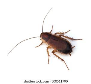 Female Pennsylvania�Wood Cockroach (Parcoblatta�pennsylvanica) on a white background