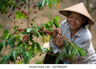 Female coffee farmers harvesting coffee berries by hand on a coffee farm in Vietnam, Asia