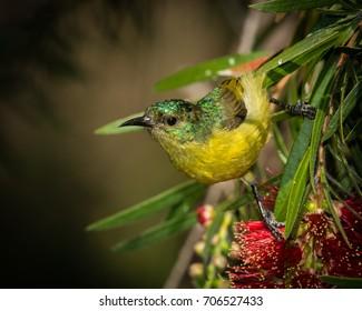 Female Collared Sunbird, Mosi-oa-Tunya National Park, Zambia