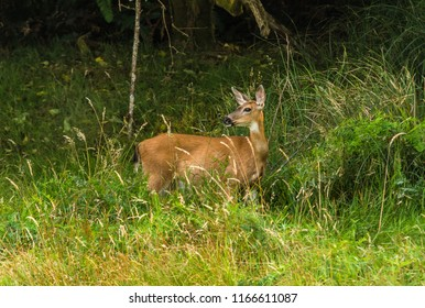 Female Columbian black-tailed deer (Odocoileus hemionus columbianus) photographed from the Alder Island Nature Trail, Siletz Bay National Wildlife Refuge, near Lincoln City, Oregon.
