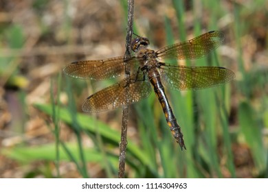 Female Common Baskettail Dragonfly perched on a dead stick. Carden Alvar Provincial Park, Kawartha Lakes, Ontario, Canada.