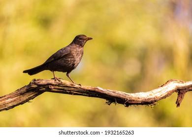 Female common blackbird on a tree branch