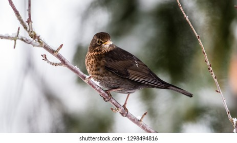 The female common blackbird (Turdus merula) is not black, she is brown but here with a beige and yellow beak and yellow eye-rings which normaly are dark.
