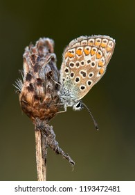 Female Common blu butterfly