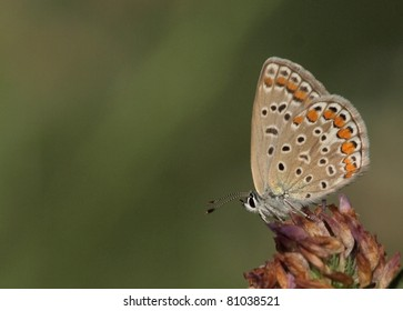Female Common Blue (Polyommatus icarus) butterfly