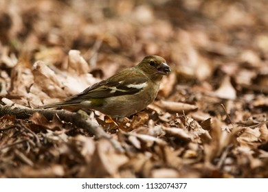 female common chaffinch (Fringilla coelebs) in the old leaves